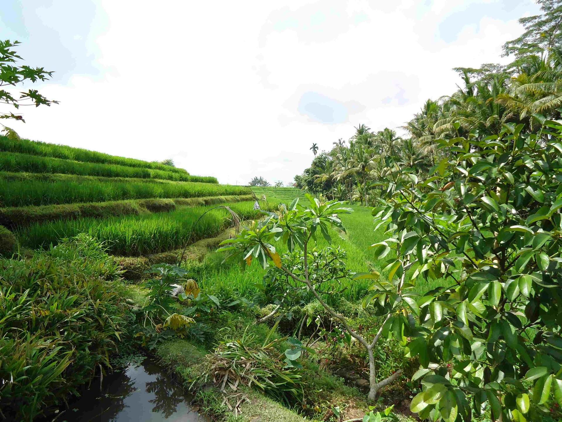riziere (2)