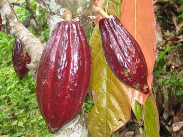duru cacao IMG_5326