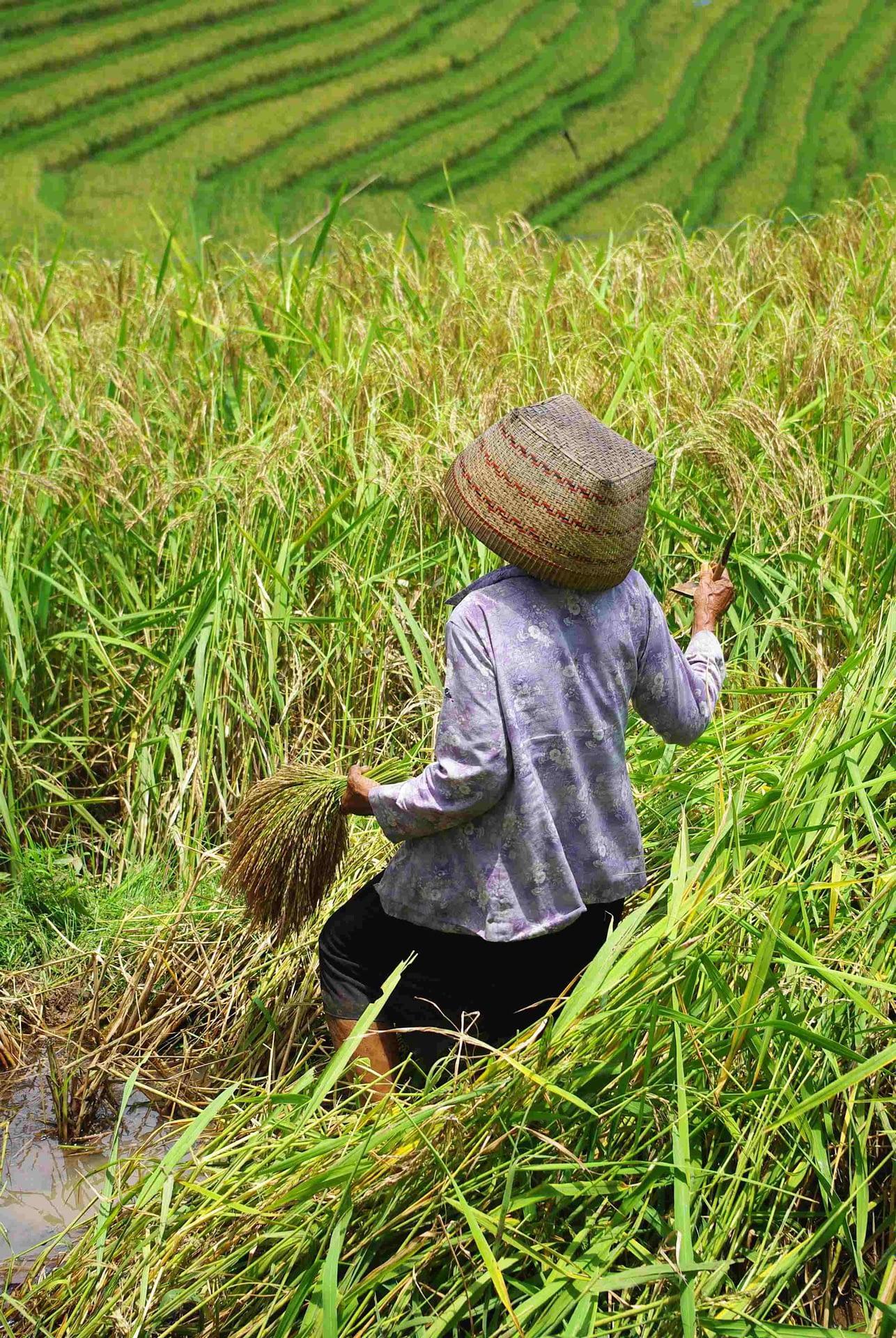 recolte riziere