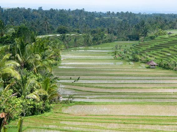 Bali334
