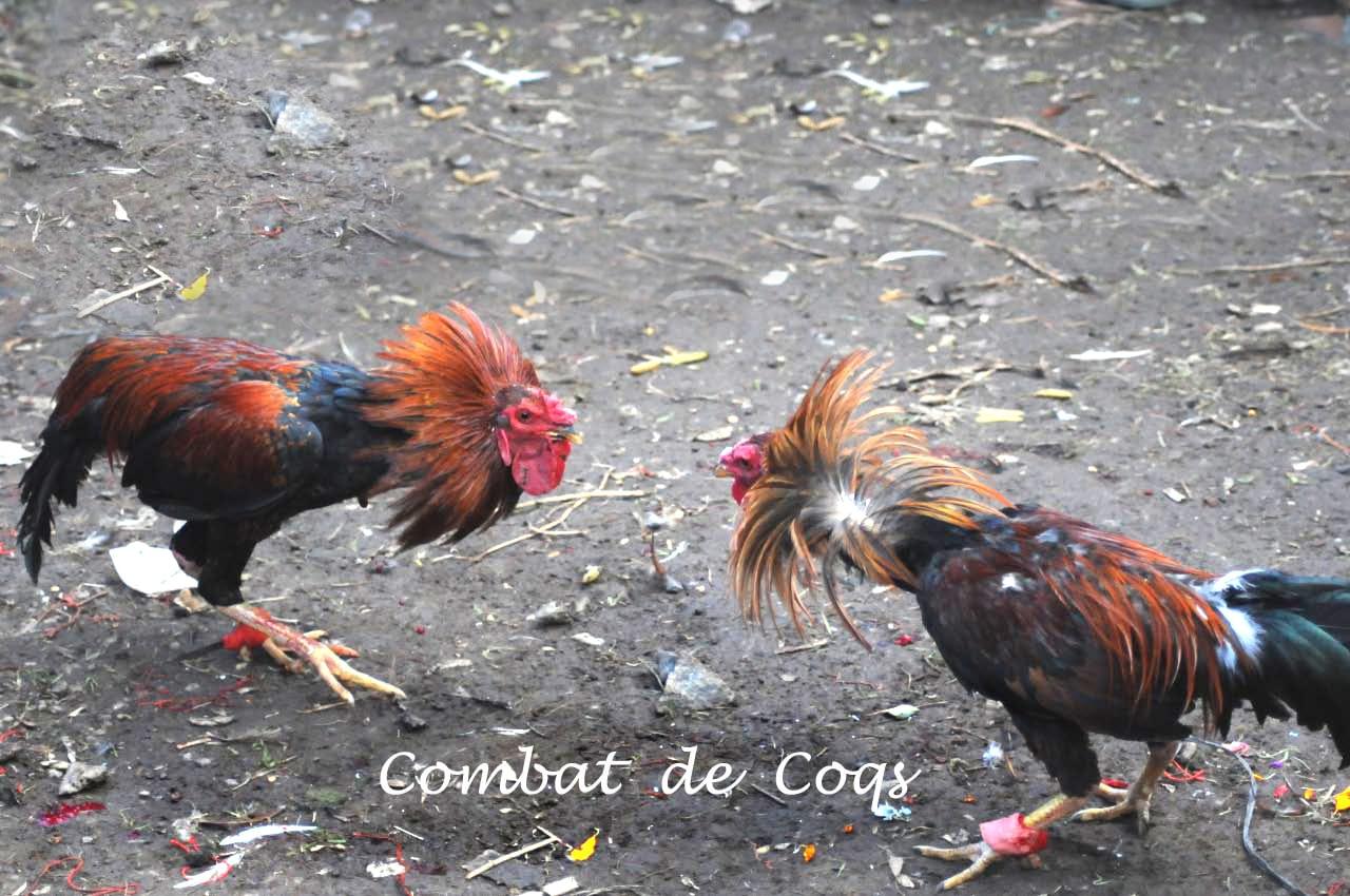 titre combat de coq