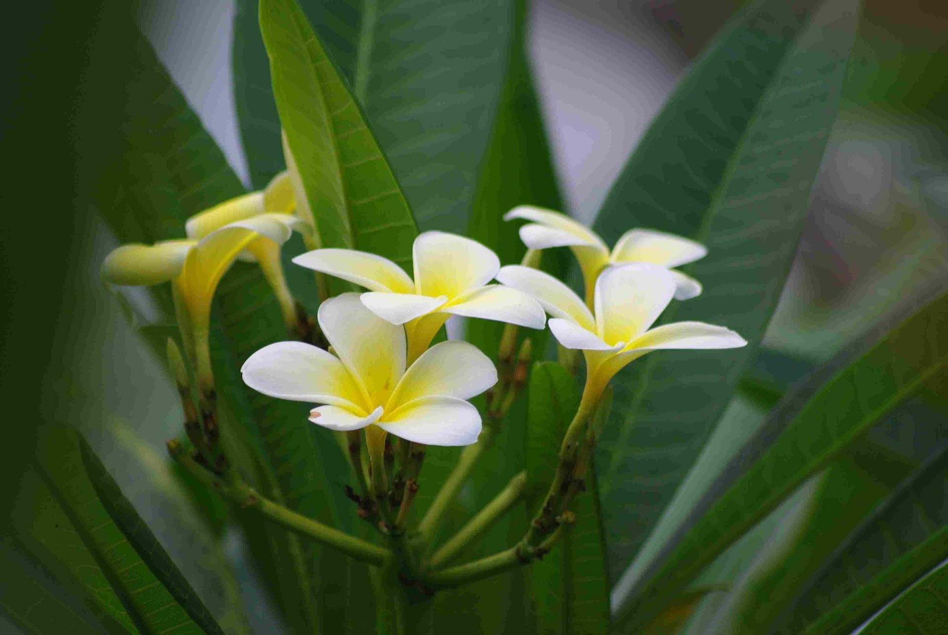 fleur frangipanier